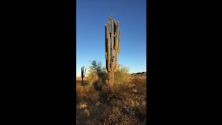 Arizona Saguaro - Protected Desert Plants - Superstition Mountains