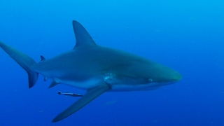 Curious Shark Is Getting Too Close For Comfort  - Video