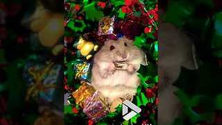 Hamster Opens Christmas Presents - Video