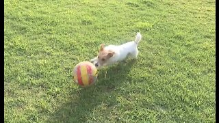 Jack Russell dribbles soccer ball like a pro