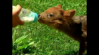Orphaned Baby Deer Rescued - Video