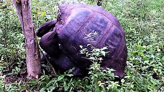 Amorous Giant Galapagos Tortoises knock a tree down with their enthusiasm