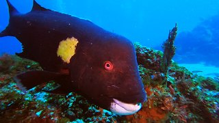 Very unusual fish enjoys posing for the video camera