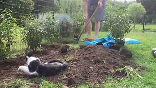 Energetic Cat Helps Out With Gardening - Video