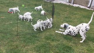 Dalmatian parents entertain their 12 puppies