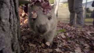 Cute Wombat Millie Plays Cheeky Game of Hide and Seek - Video