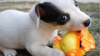 Funny puppies face off against robotic pets