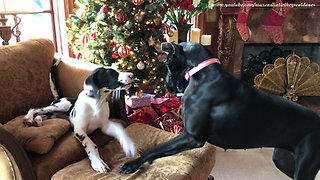 Vocal Great Dane puppy steals cat's chair - Video