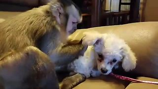 Capuchin monkey meets miniature poodle puppy