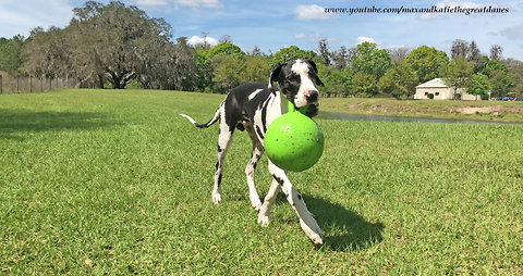 Happy Great Dane Puppy Learns to Fetch Jollyball