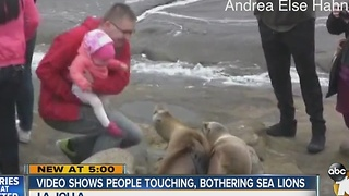 Video shows people touching, bothering sea lions - Video