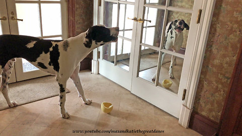 Funny Great Dane howls at himself in the mirror