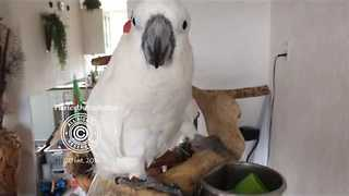 Smart Cockatoo Drinks from Cup - Video