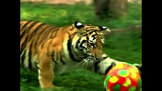 Baby Tiger Plays With Ball