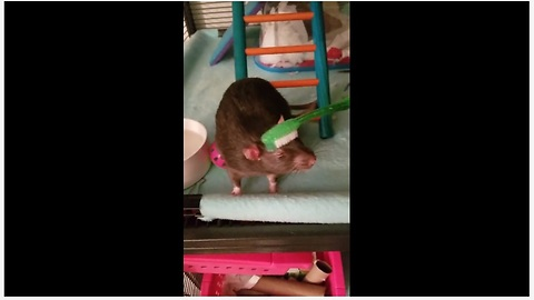 Pet Rat Really Loves To Be Pampered