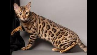 Top 5 Most Expensive Cat Breeds - Video