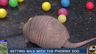 Meet Delilah the armadillo from the Phoenix Zoo - Video