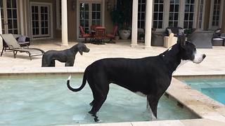 Katie the Great Dane drinks in the pool with Bronze Great Dane Statue