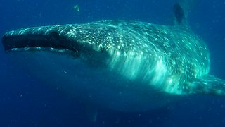 Videographers have face-to-face encounter with ocean's largest shark