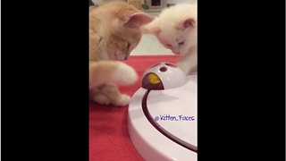 Curious kittens fascinated by new cat toy - Video