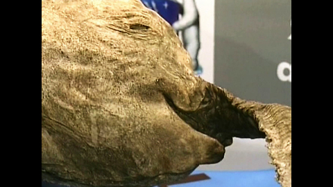 Baby Woolly Mammoth Discovered