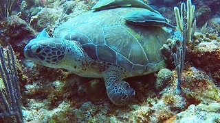 Three Legged Sea Turtle Thrives Despite Amputated Flipper - Video