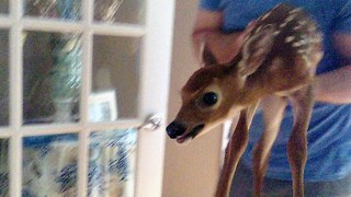 Fawn Slippy: Cute Baby Deer Skids & Slides Through Family Home - Video