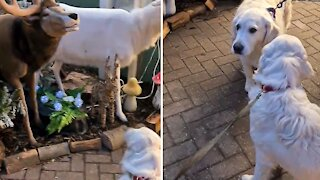 Golden Retriever gets scared by a mechanical reindeer