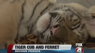Tiger cub and ferret make unusual friends - Video