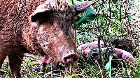 Wild mother pig tucks in her newborn piglets for the night