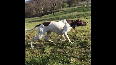 Pointer dog shows off flawless hunting skills while stalking chicken