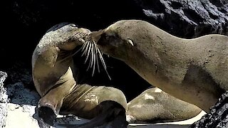 Sea lion steals a kiss and makes his lady swoon with delight
