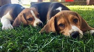 Oh my my... I love Beagles!! They are so loyal and loving  - Video