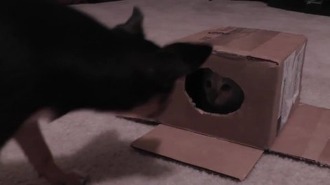 Kitten's first cardboard box is an epic encounter