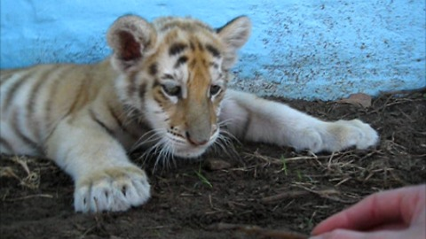 Sleepy tiger cub plays with a stick