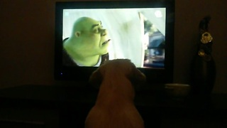 Golden Retriever puppy obsessed with 'Shrek' film - Video