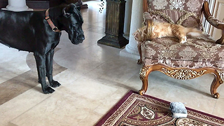 Funny Cat Teases Great Dane with her Toy  - Video