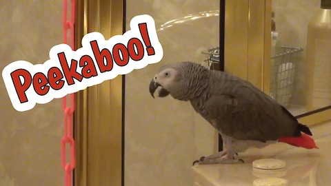 Parrot plays peekaboo with imaginary friend