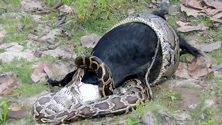 Caught On Camera: Python Devours Goat Whole - Video