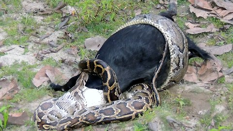 Caught On Camera: Python Devours Goat Whole