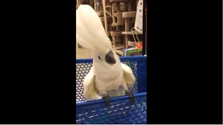 Cockatoo goes off on cats at pet store - Video