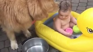 Golden Retriever helps give baby a bath