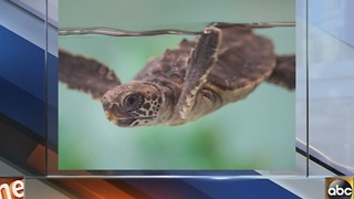 Rescued turtle hatchling Raven has a new home at the Baltimore Aquarium
