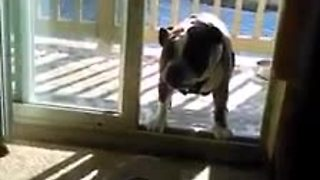 Bulldog afraid to enter home due to invisible force field - Video