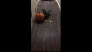 Parrot carves his pumpkin for Halloween - Video