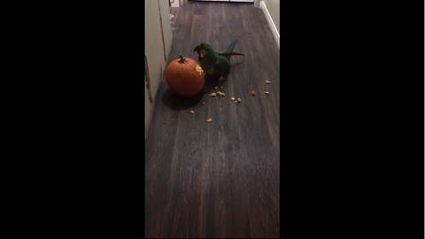 Parrot carves his pumpkin for Halloween