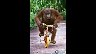 monkey steals and rides a bike