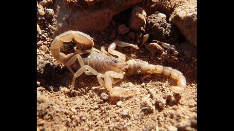 SCARY! 4 Types of scorpions crawling around the Valley - ABC15 Digital