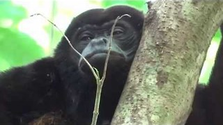 Sleepy Monkey Just Can't Keep his Eyes Open - Video