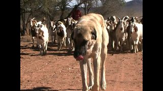 Shepherd Dogs Battle Cheetahs